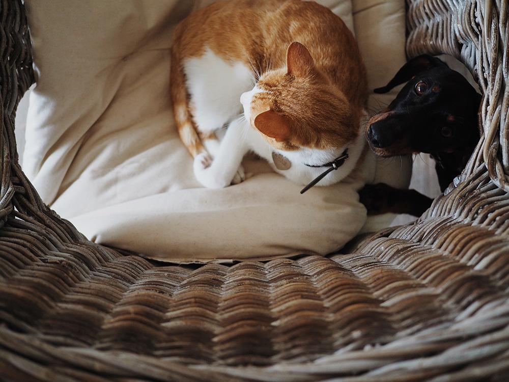 Отношения кошки и собаки