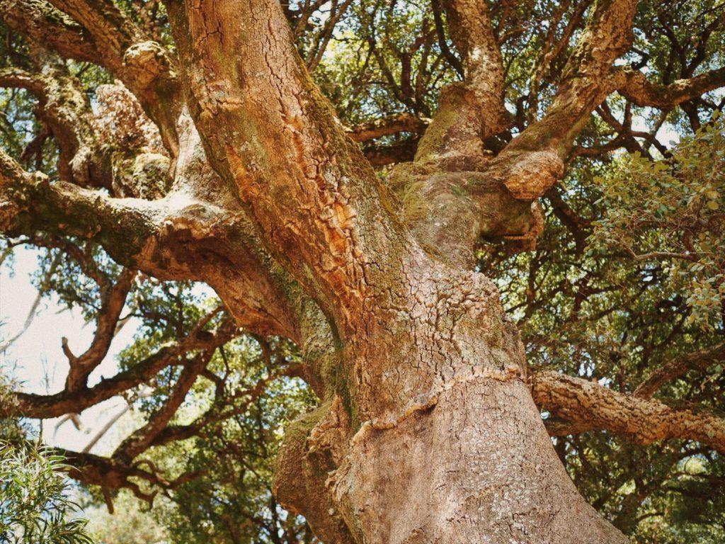 Пробковый дуб, Блог Марины Гиллер